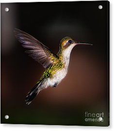 Lone Hummingbird Acrylic Print