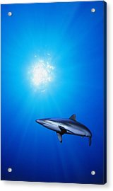 Lone Shark Illuminated By Underwater Acrylic Print by Carson Ganci