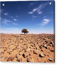 Lonely Tree At Sahara Desert Acrylic Print by Taghit