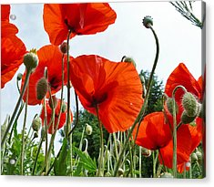 Lonely Withering Poppies Acrylic Print