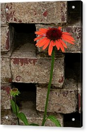 Lonely Zinnia On Wall Acrylic Print by Sandra Anderson