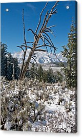 Lonesome Pine Acrylic Print by Jay Seeley
