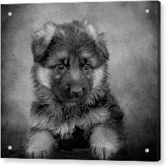 Long Coated Puppy II Acrylic Print by Sandy Keeton