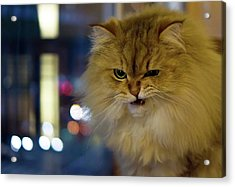 Long-haired Cat Beside Window Acrylic Print by Benjamin Torode