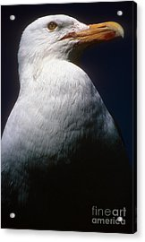 Long Island Seagull Acrylic Print