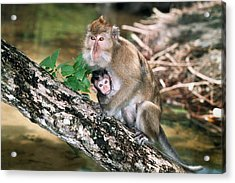 Long-tailed Macaque Mother And Baby Acrylic Print by Georgette Douwma