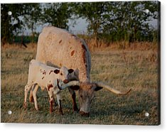 Longhorn Cow And Calf Acrylic Print by Paul Louis Mosley