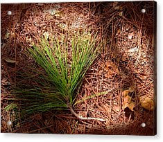 Longleaf Pine Needles Acrylic Print by John Myers