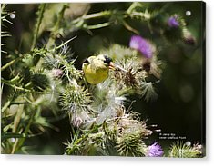 Look At Me - Lesser Goldfinch Acrylic Print