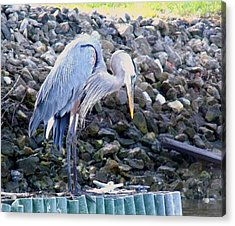 Looking For Lunch Acrylic Print by Marilyn Holkham