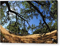 Looking Through The Oaks Acrylic Print by Donna Blackhall
