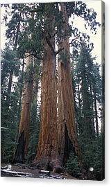 Looking Up At 3 Giant Sequoia Trees Acrylic Print by Stephen Sharnoff