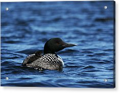 Loon And New Born Chick Acrylic Print