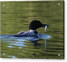 Loon With Minnow Acrylic Print by Steven Clipperton