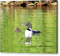 Loons Big And Small Acrylic Print by Steven Clipperton