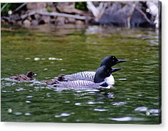 Acrylic Print featuring the photograph Loons With Twins 3 by Steven Clipperton