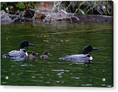 Acrylic Print featuring the photograph Loons With Twins by Steven Clipperton