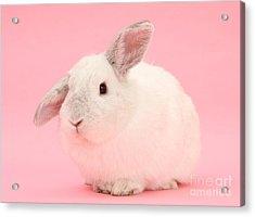 Lop Rabbit Acrylic Print