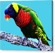 Lory Bird Acrylic Print by Paulette Thomas