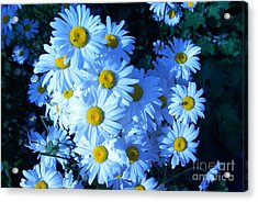Acrylic Print featuring the photograph Lot Of Daisies by AmaS Art
