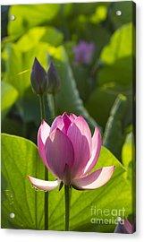 Lotus 4 Acrylic Print by Tad Kanazaki