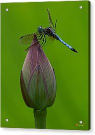 Lotus Bud And Blue Dasher Dragonfly Dl007 Acrylic Print