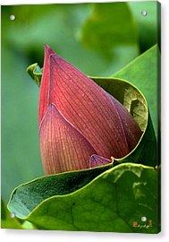 Lotus Bud--bud In A Blanket Dl049 Acrylic Print