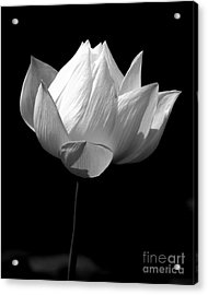 Lotus Bw Acrylic Print