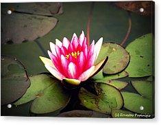 Lotus Acrylic Print by Ernestas Papinigis