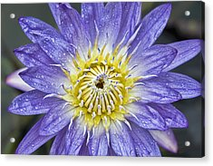 Lotus Acrylic Print by Karen Walzer