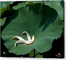Lotus Leaf--castoff IIi Dl060 Acrylic Print by Gerry Gantt