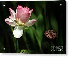 Lotus Opening To The Sun Acrylic Print by Sabrina L Ryan