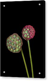 Lotus Seed Pod Acrylic Print by Jim McKinley