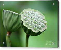 Lotus Seed Pods Acrylic Print by Sabrina L Ryan