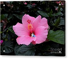 Lounging In A Hibiscus Acrylic Print by Renee Trenholm