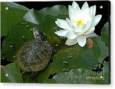 Lounging On A Lily Pad Acrylic Print