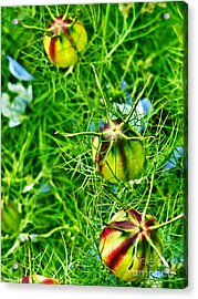 Acrylic Print featuring the photograph Love In A Mist by Steve Taylor