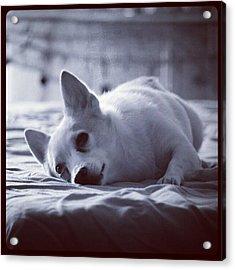 #love #pet #dog #puppy #adorable Acrylic Print