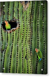 Lovebirds And The Saguaro  Acrylic Print