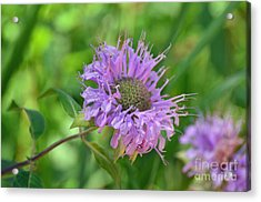 Lovely Lavender  Acrylic Print by Whispering Feather Gallery