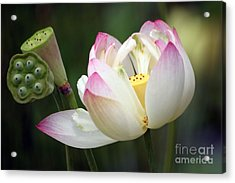 Lovely Lotus Acrylic Print by Living Color Photography Lorraine Lynch