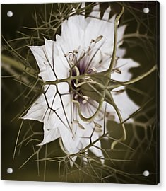 Love's Thorns Acrylic Print