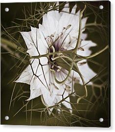 Love's Thorns Acrylic Print
