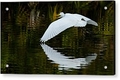 Low Flying Reflection Of Snowy Egret Acrylic Print