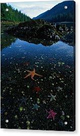Low Tide Reveals A Galaxy Of Bat Stars Acrylic Print by Raymond Gehman