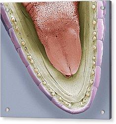 Lower Jaw Of A Gecko, Sem Acrylic Print by Steve Gschmeissner
