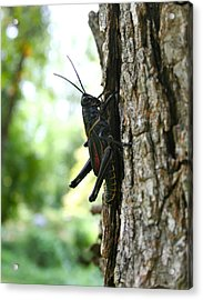 Lubber Grasshopper Acrylic Print