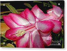 Luminous Cactus Flower Acrylic Print by Kaye Menner
