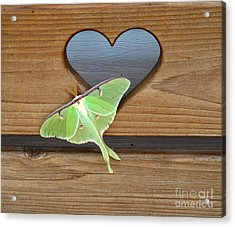 Luna Moth In Love Acrylic Print by The Kepharts