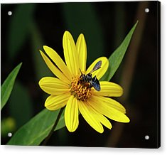 Lunch At Coreopsis Acrylic Print by Sandra Anderson